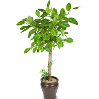 벵갈고무나무